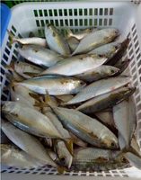 wholesale frozen seafood, light catching indian mackerel