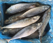 Scientific Name Of Seafood Fresh Frozen FIsh Mackerel Price scomber japonicus