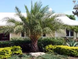 Phoenix dactylifera Seeds ,Date Palm, Edible Date Palm Seeds Marathi - Khajur - See more at: http://chhajedgarden.com/Trees---Me