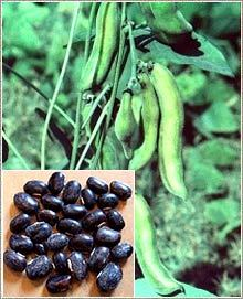 Mucuna Pruriens Seed Powder Sexual Stimulant Herbal Aphrodisiac Buy Mucuna Pruriens Seed