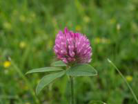 Pure nature Red Clover Powder Extract 20%
