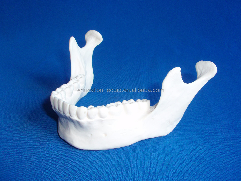 Human Mandibular Model SE311258