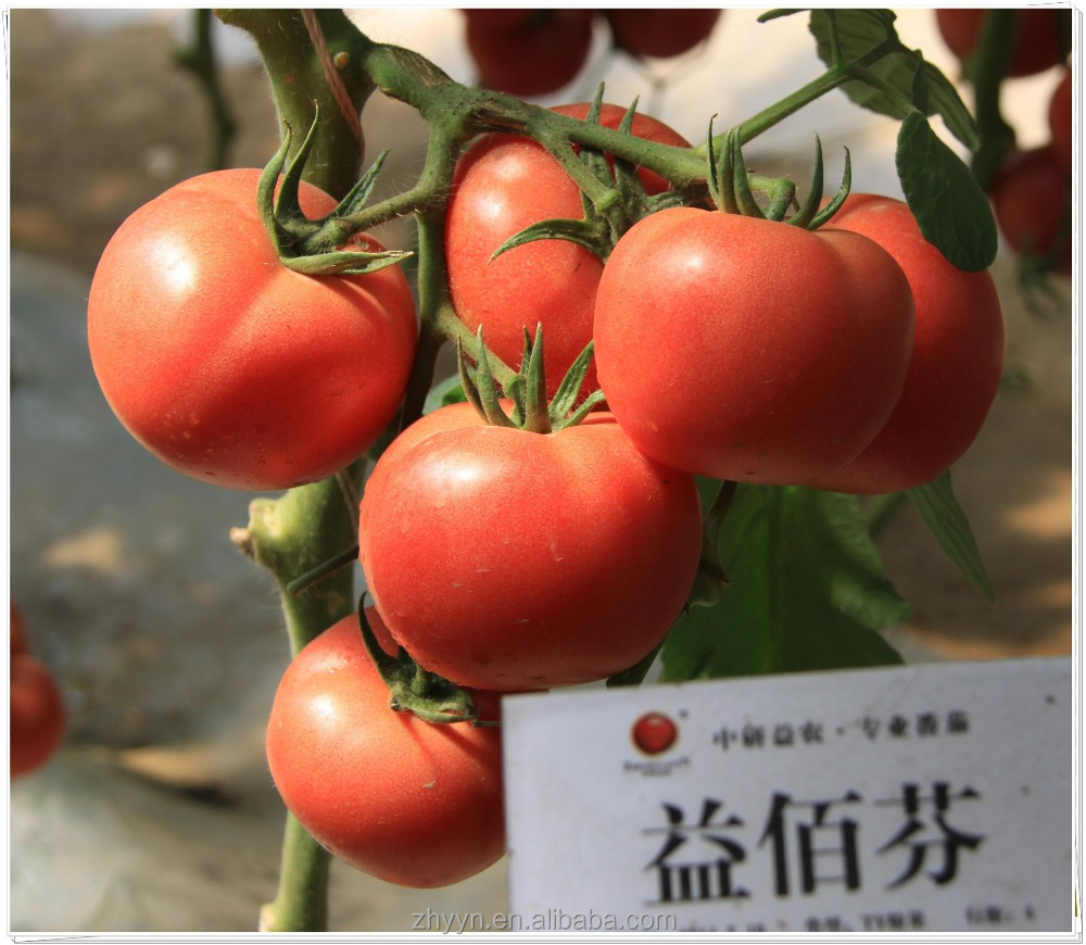 Yibaifen high yield tomato seeds