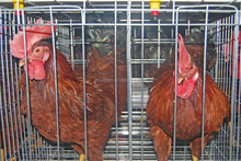 Chicken cage for broiler layer breeder chicken farm factory wholesale