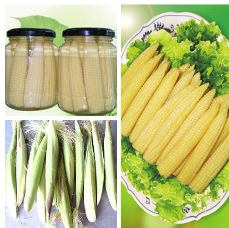 fresh canned young corn whole
