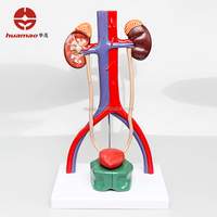 HML-BD-028 Ningbo Huamao 3D Plastic PVC Urinary system model Urinary system anatomy model Urinary system anatomical model