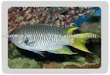 Yellow Tail Green Damsel Fish