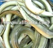 Yellow Conger Eel