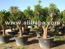 "Citrus sinensis-orange tree ""lanelate"" variedad para vender en maceta <span class=keywords><strong>de</strong></span> 8 litros olla"