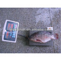 1000 grs up frozen tilapia for sale