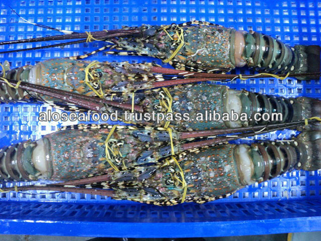 Raw whole Lobster Freshhh and frozen of Alo Seafood Co.,