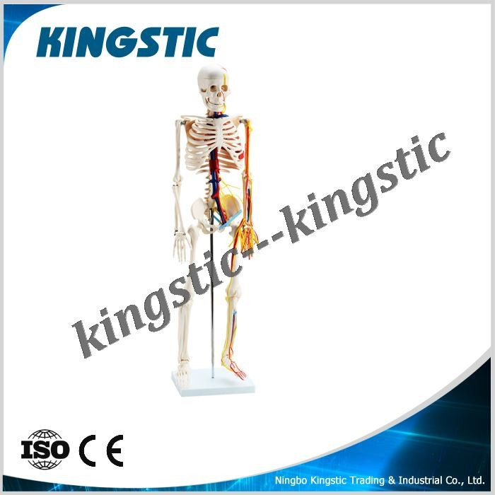 85cm Skeleton with Nerves and Blood Vessels,artificial skeleton