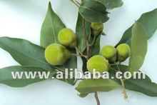 agarwood,oud,aloeswood trees for sale