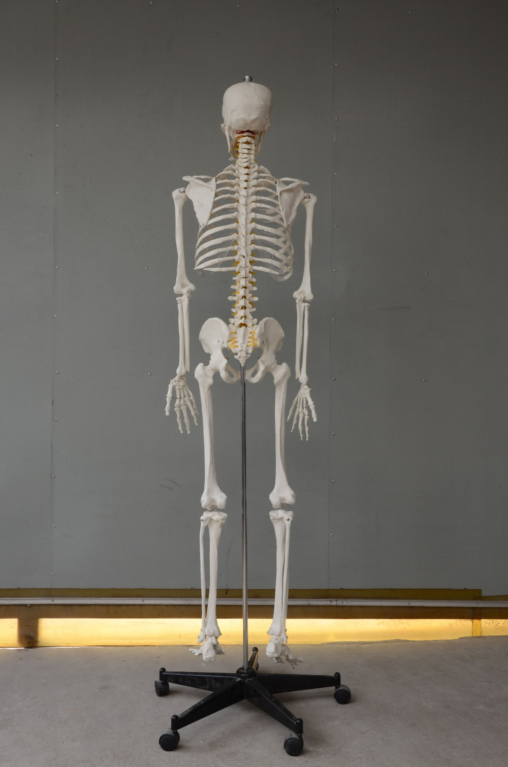 SE31134 175cm Human Skeleton Model