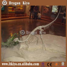 Museum Life size dinosaur skeleton model