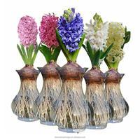 Hydroponic Dutch Hyacinth Flower Bulbs, Hyacinthus orientalis