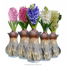 Hydroponic Dutch Hyacinth Flower Bulbs, Hyacinthus orientalis