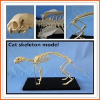 R190118 Cat Skeleton Model for Teaching and Medical Purpose Animal Anatomical Model