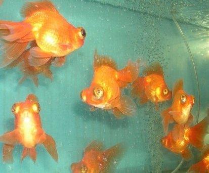 Pesce pesci rossi farfalla coda altri prodotti per for Pesci rossi prezzo