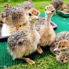 Ostrich Chicks and Other Products