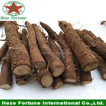 China paulownia wholesale rooted plant cuttings