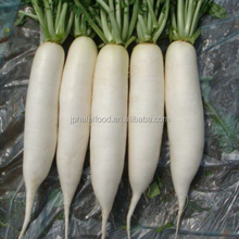 New listing fresh radish and white halal food for radish