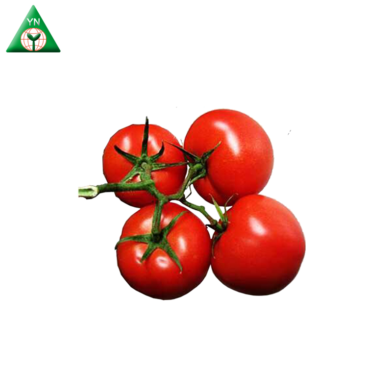 Hybrid Tomato Seeds Highly Resistance To Disease