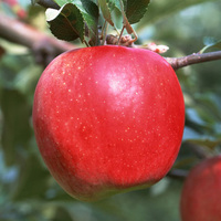 China china fresh qinguan apple