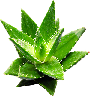 Low price 100% natural aloe vera extract aloin from Natural Field