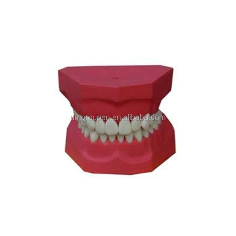 wholesale dental standard dentition tooth decoration model for dental implant disease teeth with restoration