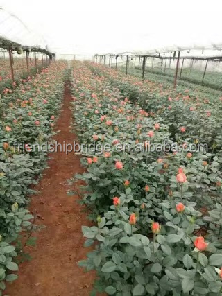 Natural plants type rose nursery