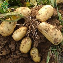 cheap price New crop fresh Potato