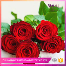 Competitive Price Fast Delivery fresh cut flowers red roses