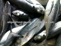 Fresh Frozen Horse mackerel fish from Alo seafood Co.,