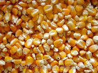 Indian Yellow Maize / Corn