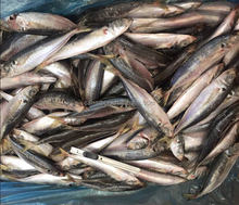 Sea horse fish canned mackerel species for canning manufacture in Thailand