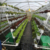 Greenhouse NTF hydroponic channel for planting vegetables White rectangular pvc square pipe tube hydroponic