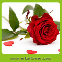 Classic red roses fresh cut flowers at reasonable prices and small lot order available