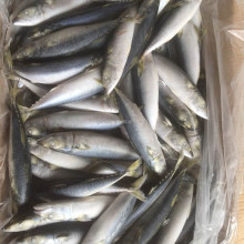 Frozen foood pacific mackerel 8-10pcs/kg to Indonesia