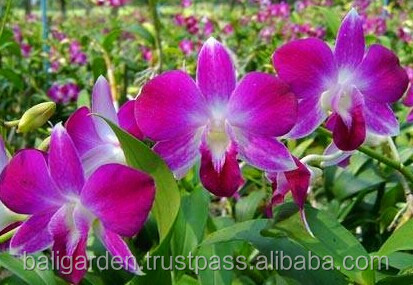 Orchids Thailand cut orchids dendrobium orchids wholesale