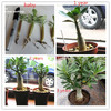 Desert rose Adenium plants