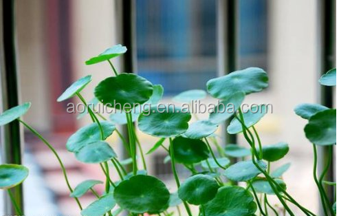 gotu kola powder, gotu kola herb extract powder, gotu kola plant extract