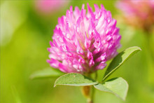 GMP Factory Supply Red clover extract estrogen p.e. isoflavones