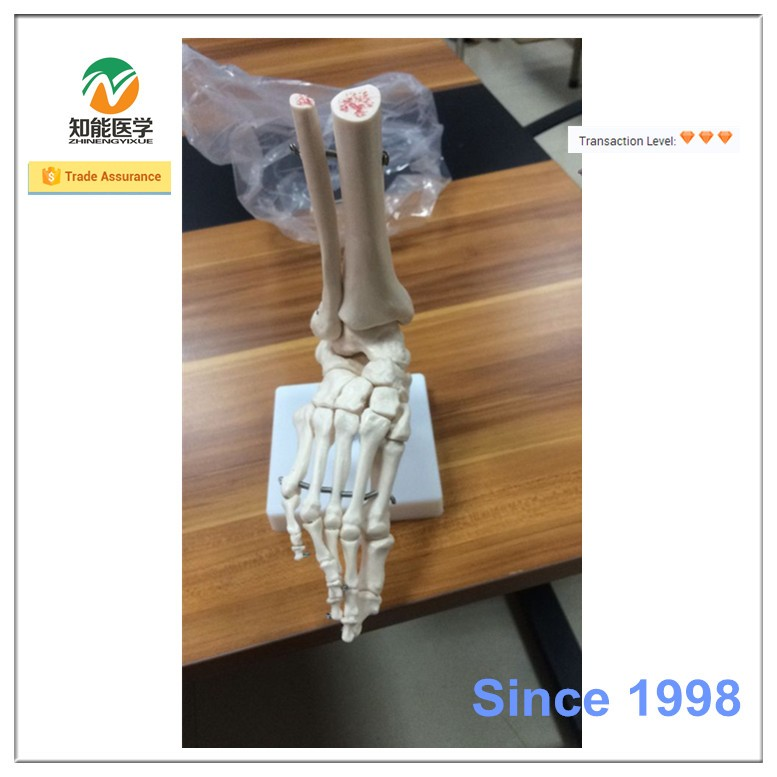 Office supplier plastic teaching human foot anatomy model