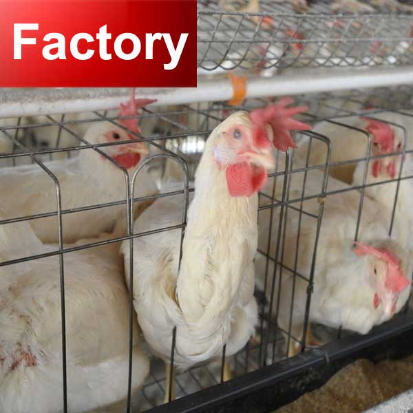 Design 20000 birds house automatic h types of poultry cage