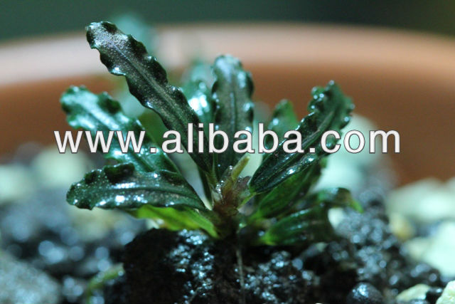 "BUCEPHALANDRA SP. ""SANGGAU"" VELVET GREEN AQUATIC ORNAMENTAL EXOTIC RARE PLANT"
