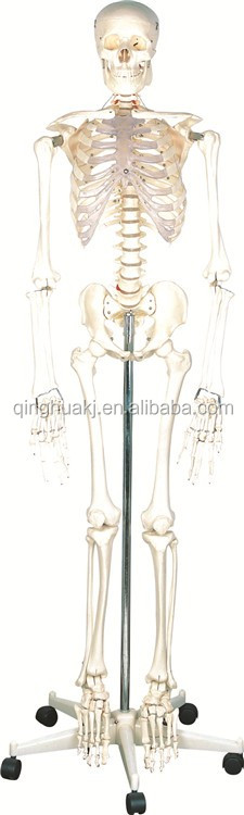 Hot Sale 170cm human skeleton model for medical model