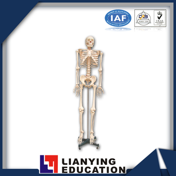 85cm with color human anatomical skeleton model