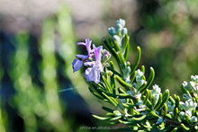 Essential Oil from Extra Virgin Rosemary As Edible Cooking Oil