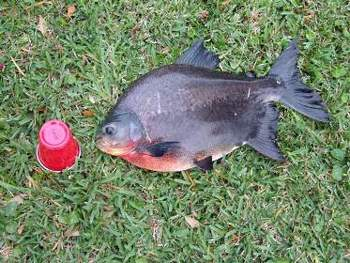 Red bellied pacu buy freshwater product on for Pacu fish for sale